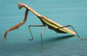 House resident Pete the praying mantis